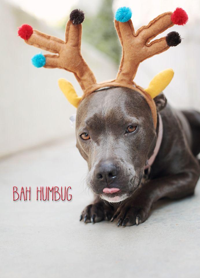 Pitbull Wearing Reindeer Antlers Bah Humbug Pitbull Dog Christmas 8amphotography Blogspot Com Pitbull Puppies Pitbulls Dog Supplies