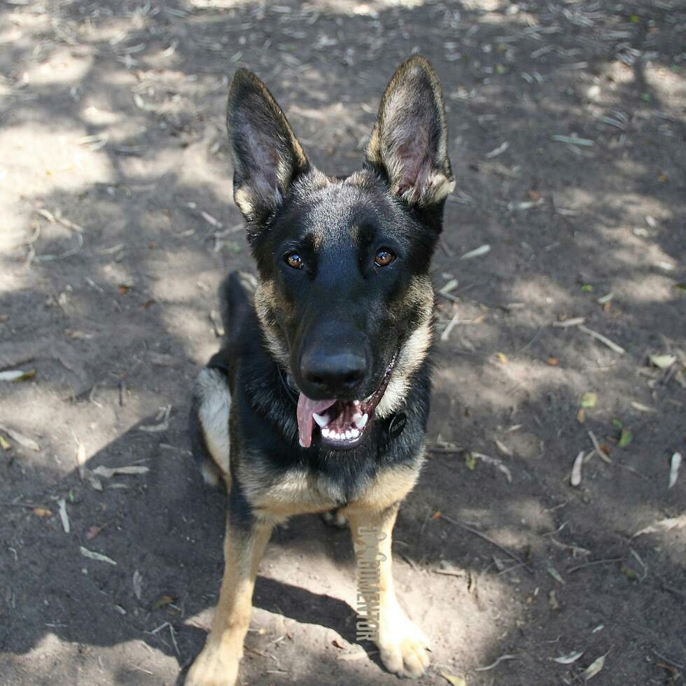 Kolton German Shepherd 8 M O Grape St Dog Park He S A Pet