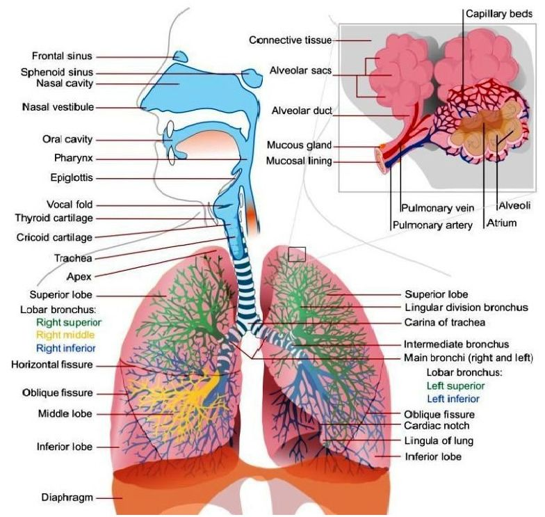 Respiratory System For Kids | In to med | Pinterest