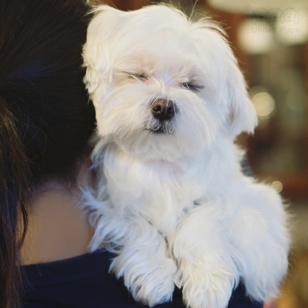 Adorable Maltese Malshi Mama Maltese Dogs Maltese Dogs
