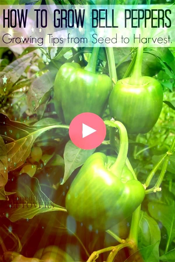 to grow bell peppers  tips for growing peppers from seed to harvest How to grow bell peppers  tips for growing peppers from seed to harvest How to grow bell peppers  tips...