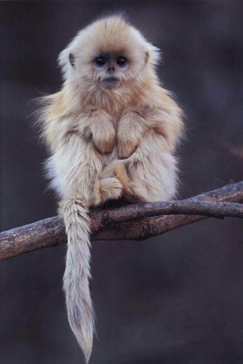Chinese golden snub nosed monkey