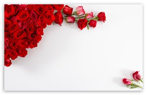 Red Roses on White Background HD desktop wallpaper