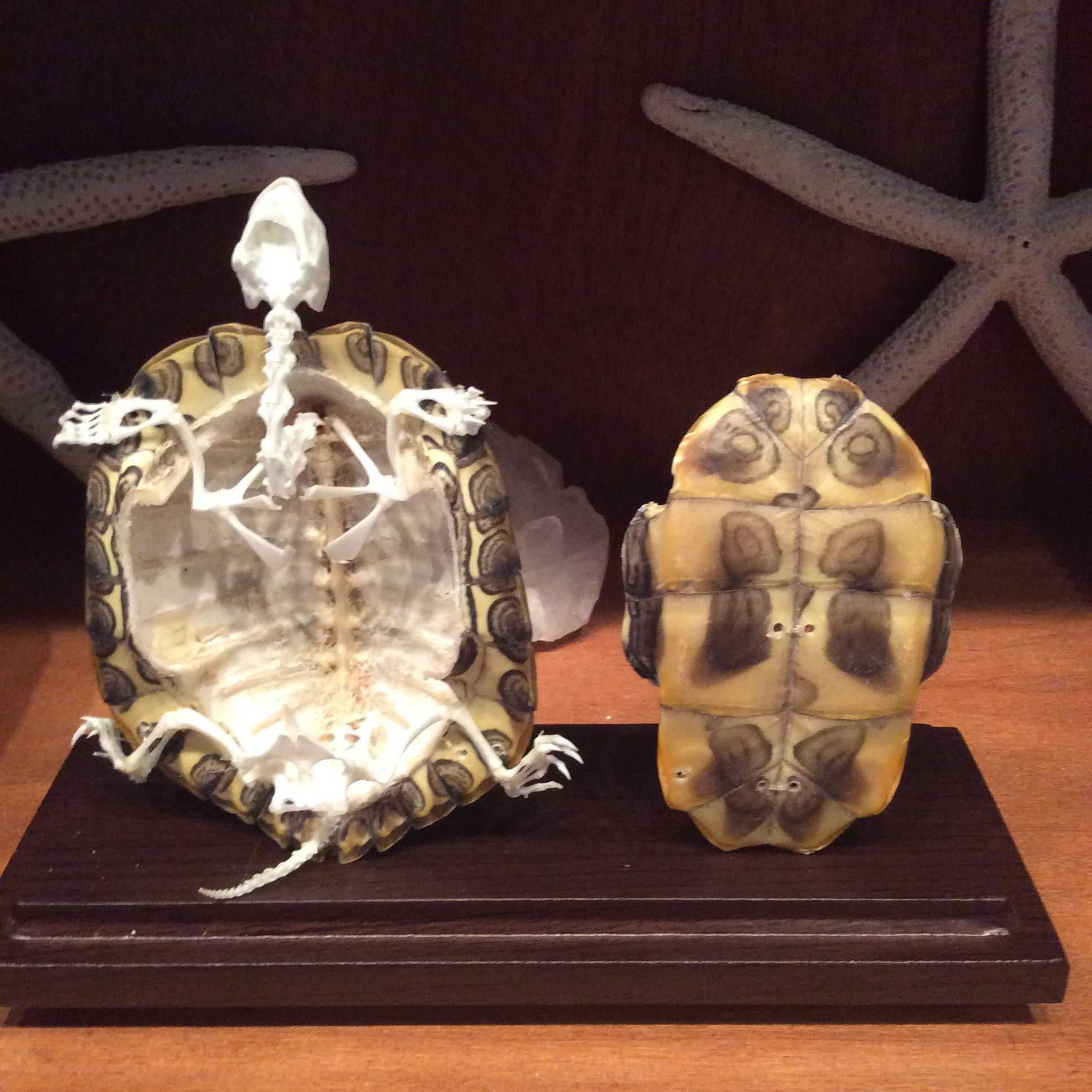 Articulated Turtle Skeleton Natural Shell Skeletons Turtle And Shell