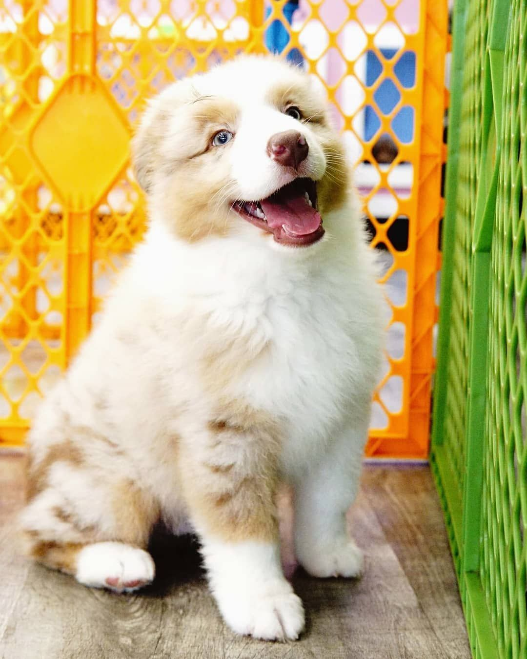 Have You Been To Forever Love Puppies We Have The Largest Selection Of Puppies In South Florida And You Can Play With As In 2020 Puppies Puppies For Sale Forever Love
