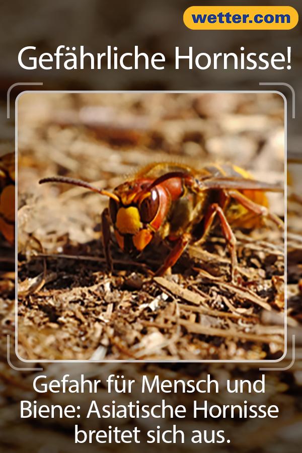 Gefahr Fur Bienen Asiatische Hornisse Breitet Sich Aus Hornisse Riesenhornisse Hornissen