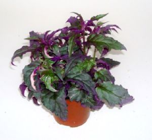 Purple Velvet Plant Additional Common Names Velvet Plant Royal Velvet Plant Purple Passion Vine Scientific Name Plants Purple Passion Plant Live Plants