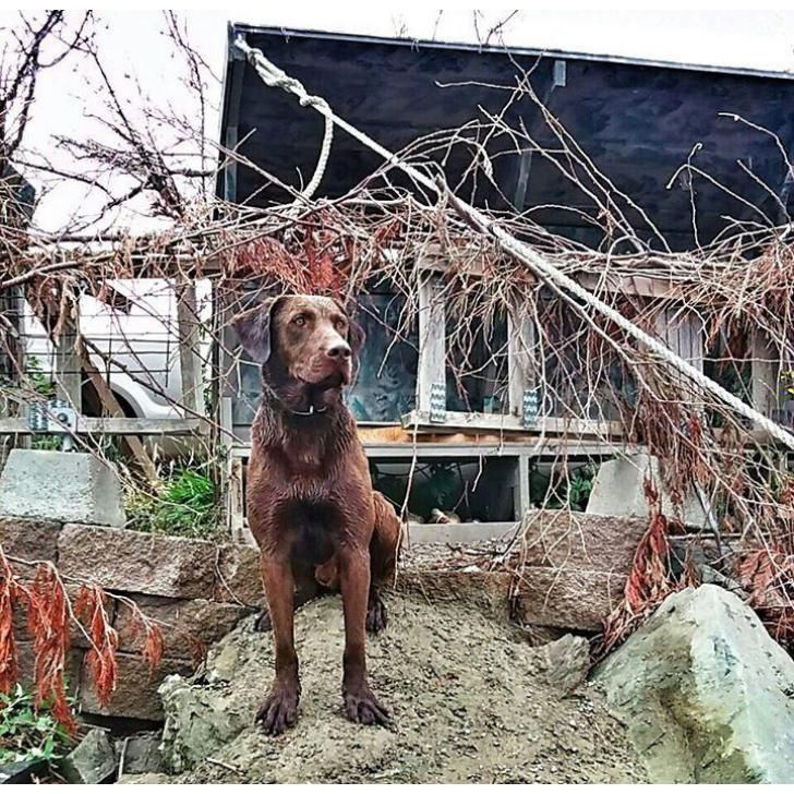 Labrador Retriever Sedro-Woolley, Labrador Retriever Puppies DUE FIRST WEEK OF DECEMBER 2016 -Mom is papered Yellow American Labrador Retriever (comes fro...