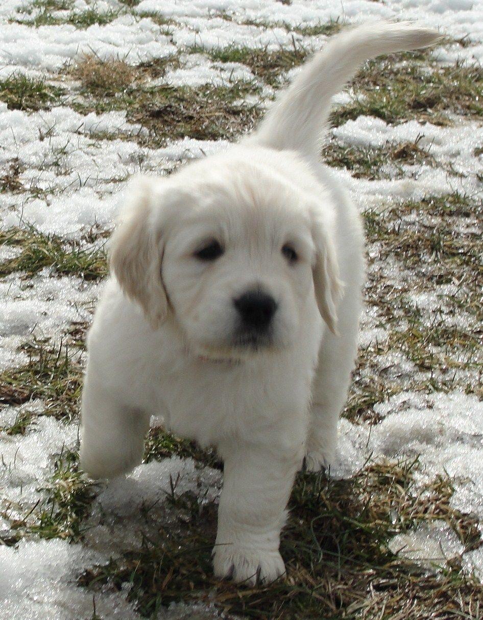 Spirit Golden Retriever Gorgeous Paws Pinterest Puppies Dogs