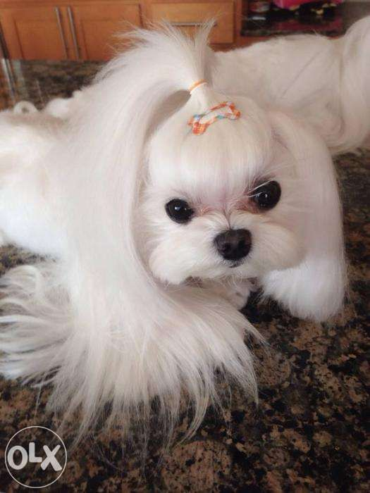100 Pure Maltese For Stud For Sale Philippines Find New And