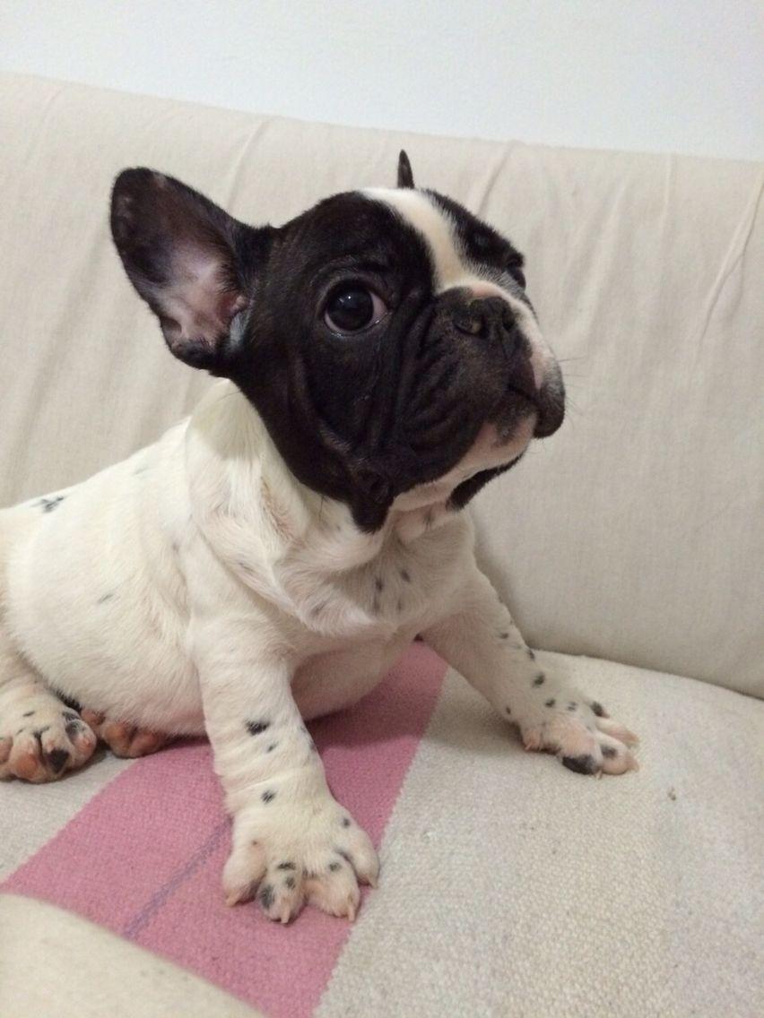 frenchie bulldogfrances puppie todavía sin nombre mí