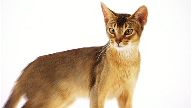 Abyssinian cat philippines