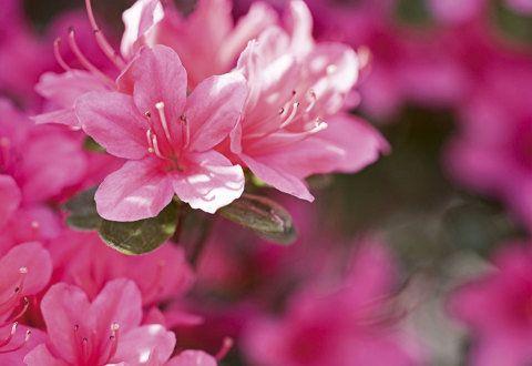 As azaleias desabrocham uma vez por ano – no frio, quando muitas flores adormecem. A engenheira-agrônoma Angela Rossi cultivá-las