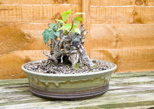 Common Ivy Bonsai Tree (Hedera helix) with New Growth 2 | Flickr - Photo Sharing!