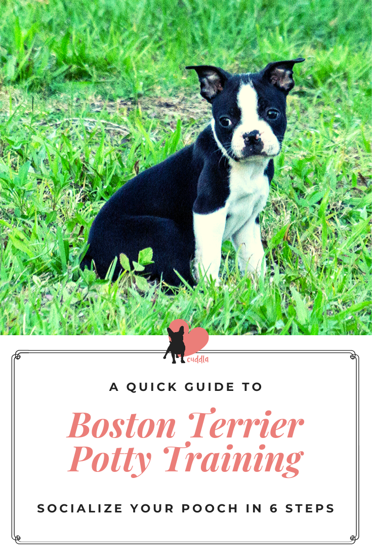 Boston Terrier Potty Training In 6