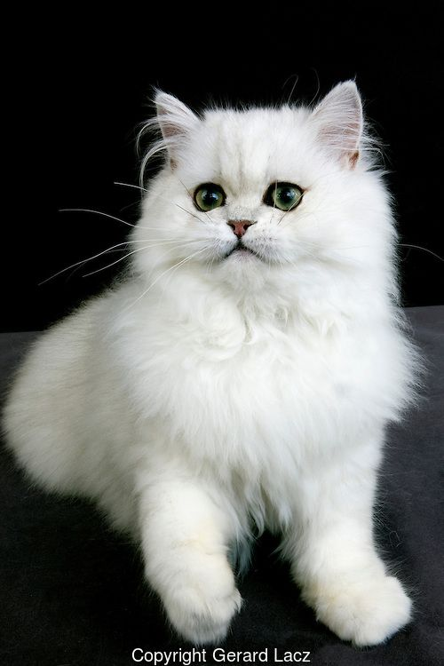 Chinchilla Persian Domestic Cat with Green Eyes, Adult ...