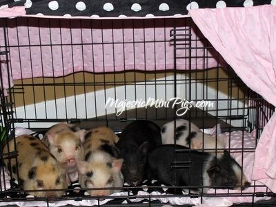 Micro Mini Pigs And Juliana Pigs For Sale In California Mini Pigs Pigs For Sale Micro Mini Pig