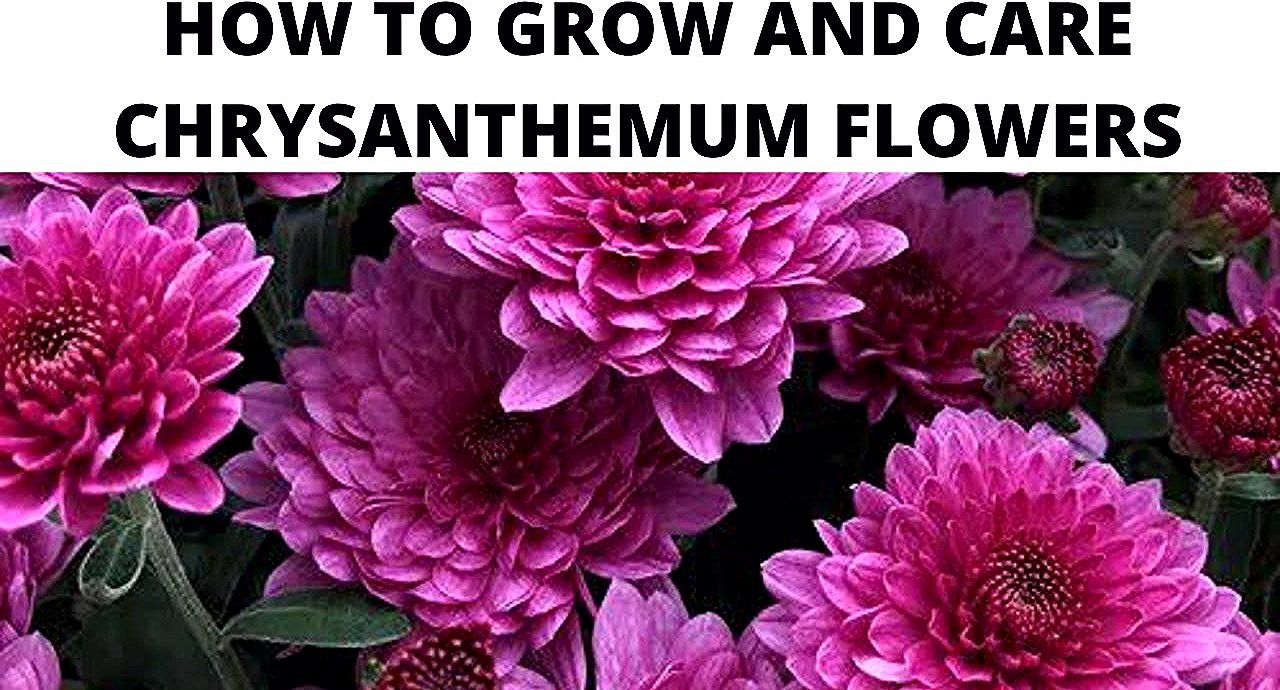 Flowers Plant How To Grow And Care Chrysanthemum Flowers In 2020 Chrysanthemum Flower Chrysanthemum Plants