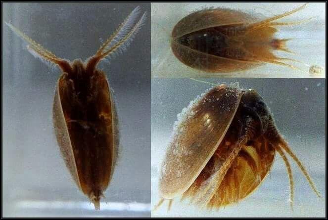 Crustacea - Classe Branchiopoda, Ordem Diplostraca