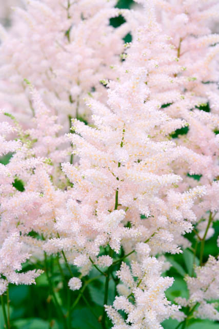 One Of The First Astilbes To Flower Astilbe Europa Astilbe Japonica Features Luminous Dense Pyramidal Shaped Sof In 2020 Astilbe Japonica Astilbe Shade Flowers