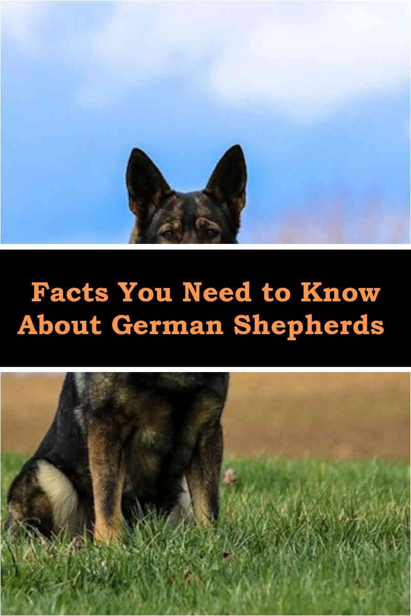 How To Train A German Shepherd Dog German Shepherds Dogs