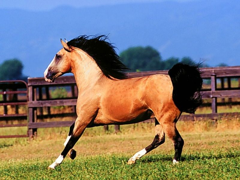 lusitano horses - Google Search