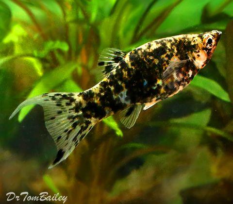 Aquarium Fish For Sale Molly Fish Pet Fish Aquarium Fish