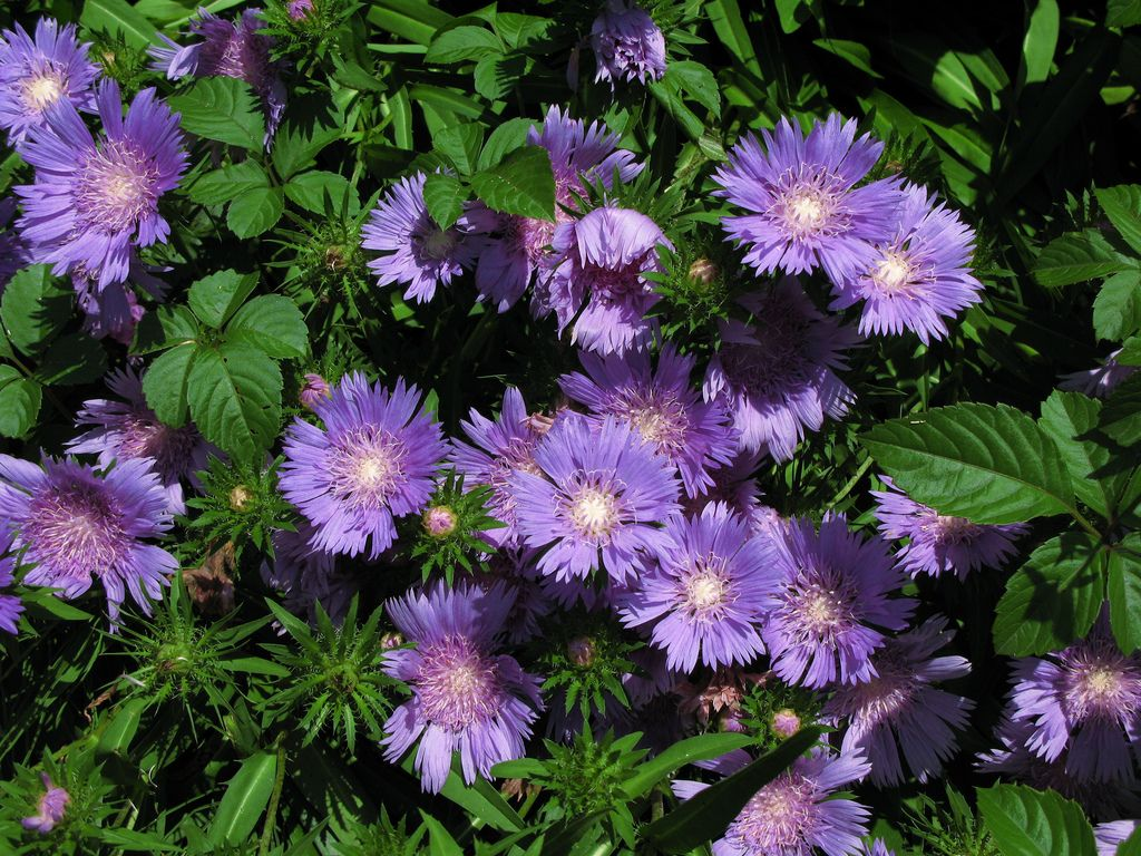 Stokes Asters Flowers Tips For Stokes Aster Care Aster Flower Plants Flower Landscape