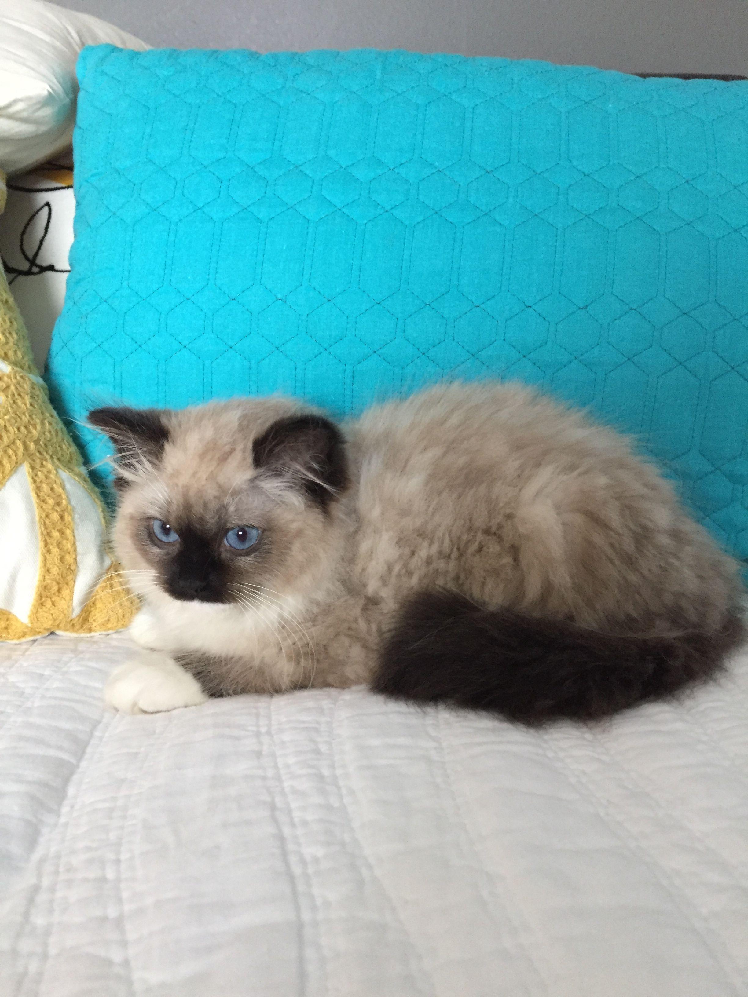 Www Rockinragdolls Com Ragdoll Kittens In Idaho Kittens Ragdoll