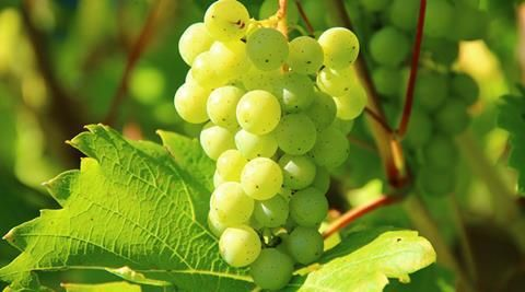 #Grapes may shield you from Alzheimer's - The Indian Express: The Indian Express Grapes may shield you from Alzheimer's The Indian Express…