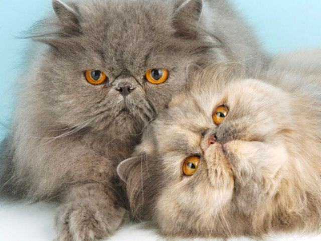 Persian Cat Breeds Small Cat Breeds Cute Cats And Kittens