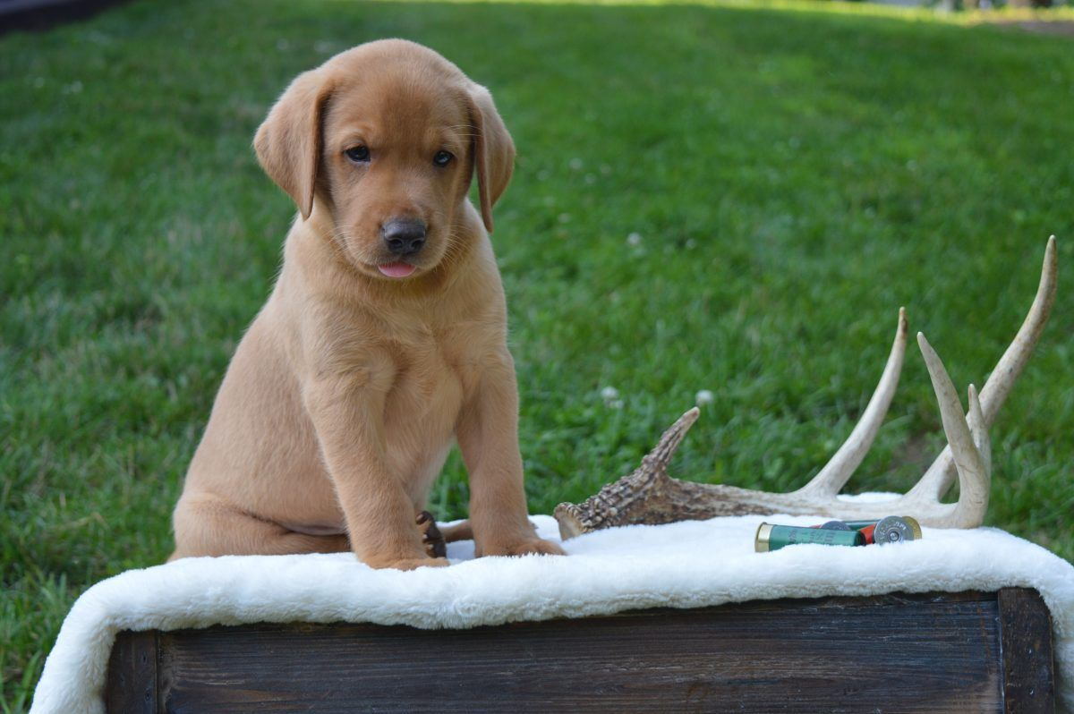 Silver labrador retriever puppies for sale in pa