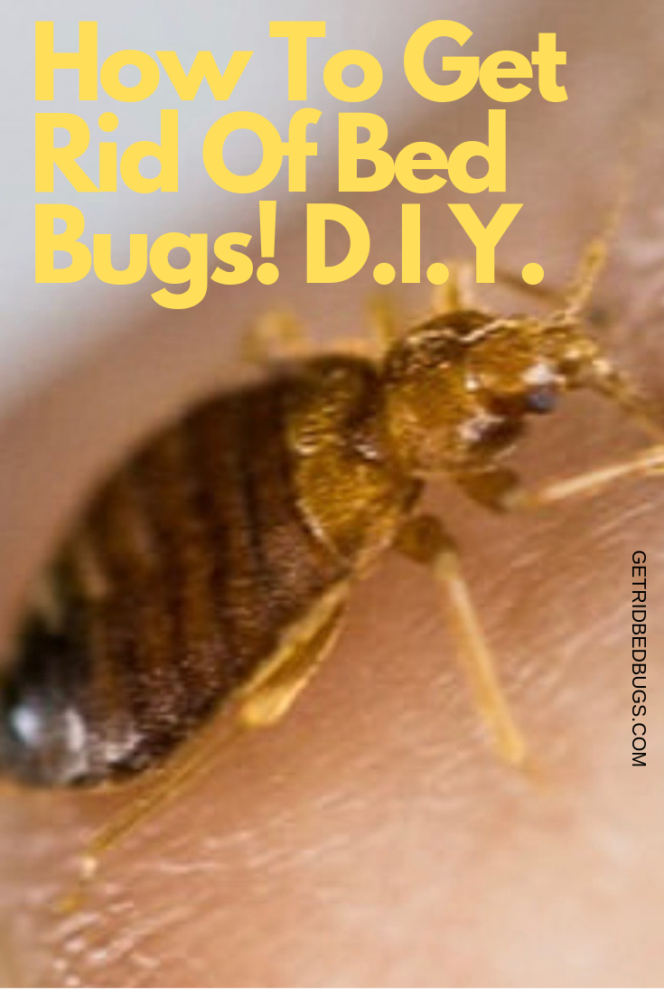 How To Get Rid Of Bedbugs D I Y Rid Of Bed Bugs Bed Bug