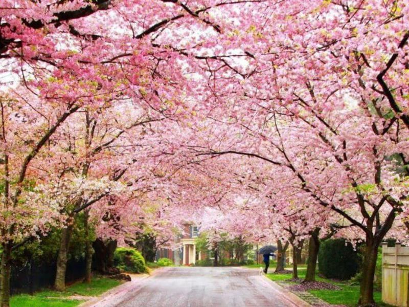 Destination Shillong Beautifultrip Month November People Xcitetourindia Tourist Places Cherry Blossom Festival Cherry Blossom