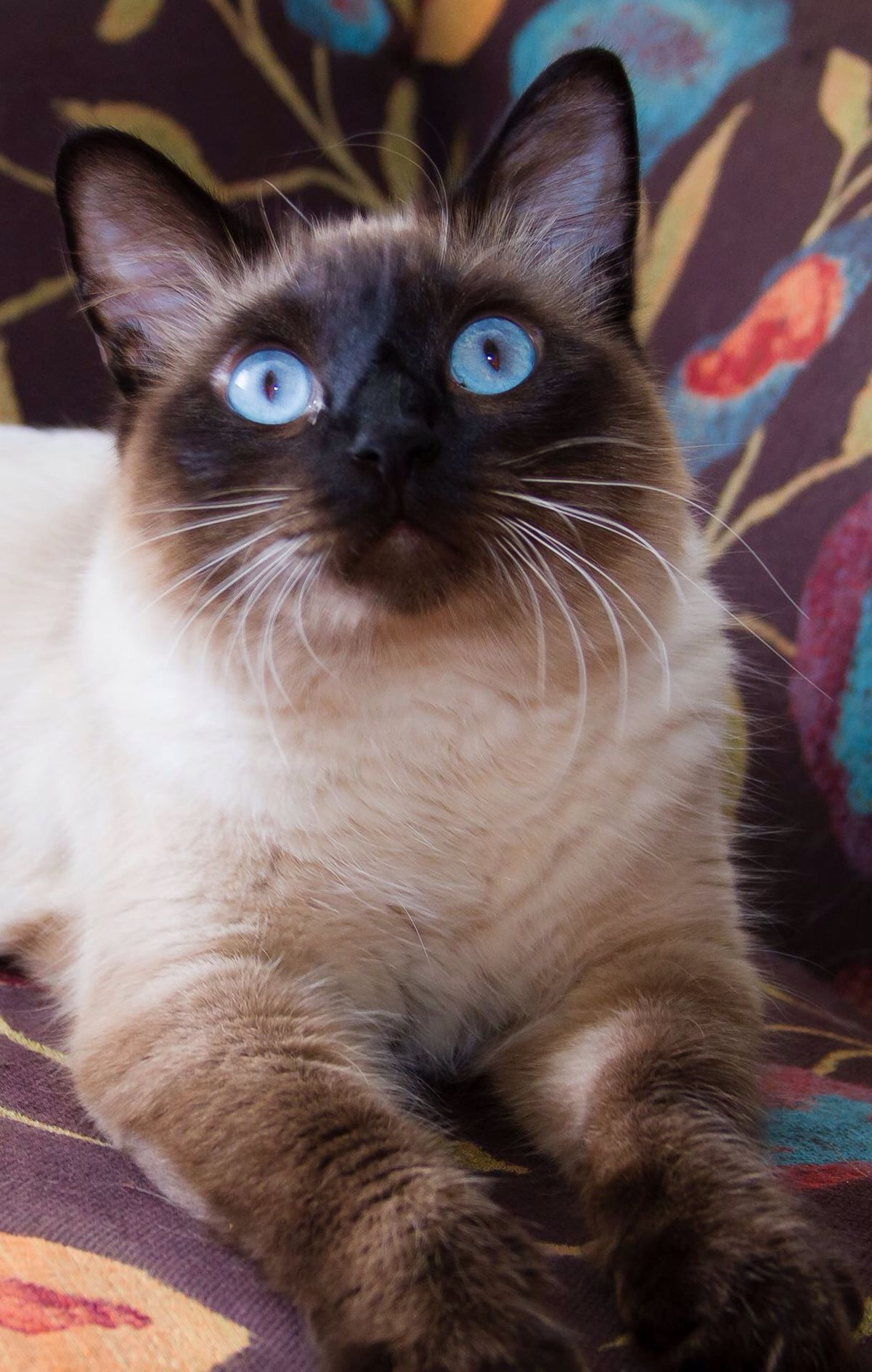 My cat Blue Burmese cat, Cats and kittens, Cats