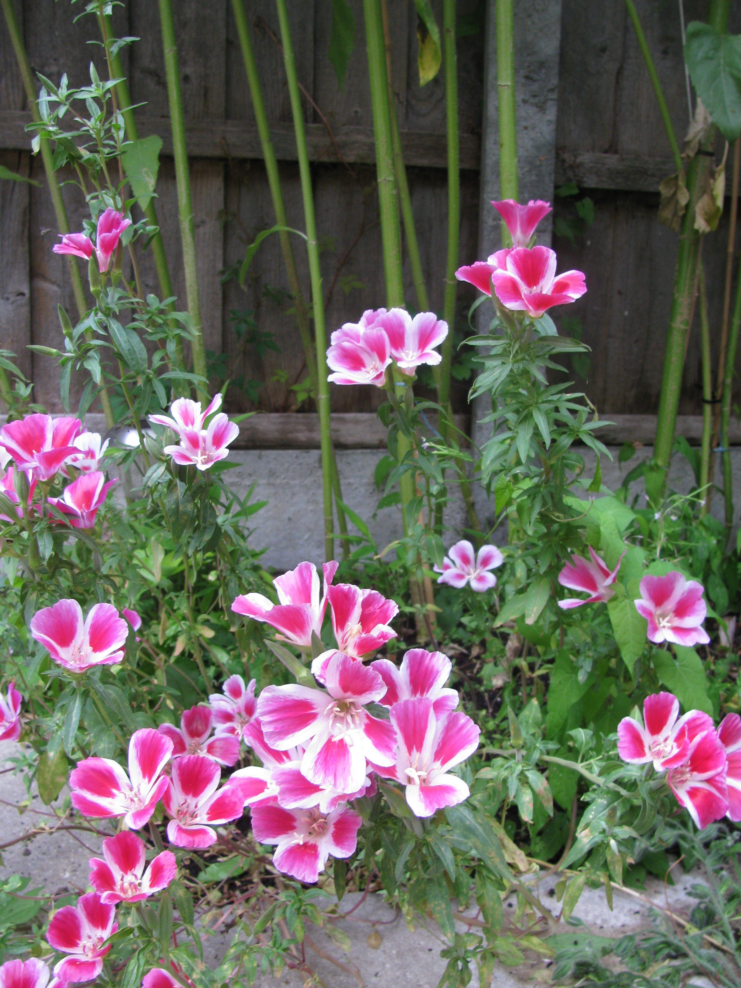 Dwarf Godetia Flowers Wild Flowers Perennials
