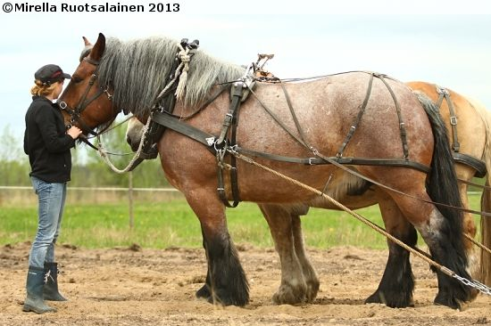 Although farming is now done with machinery (except on remote hill farms), the Swedish Ardennes is still popular as a cart horse; it is also used for hauling timber in mountain areas inaccessible by machinery. Despite the increasing mechanization of agriculture and forestry, the Swedish Ardennes still makes up the largest proportion of Sweden's registered purebred stallions. Img: Swedish Ardennes gelding Lincon