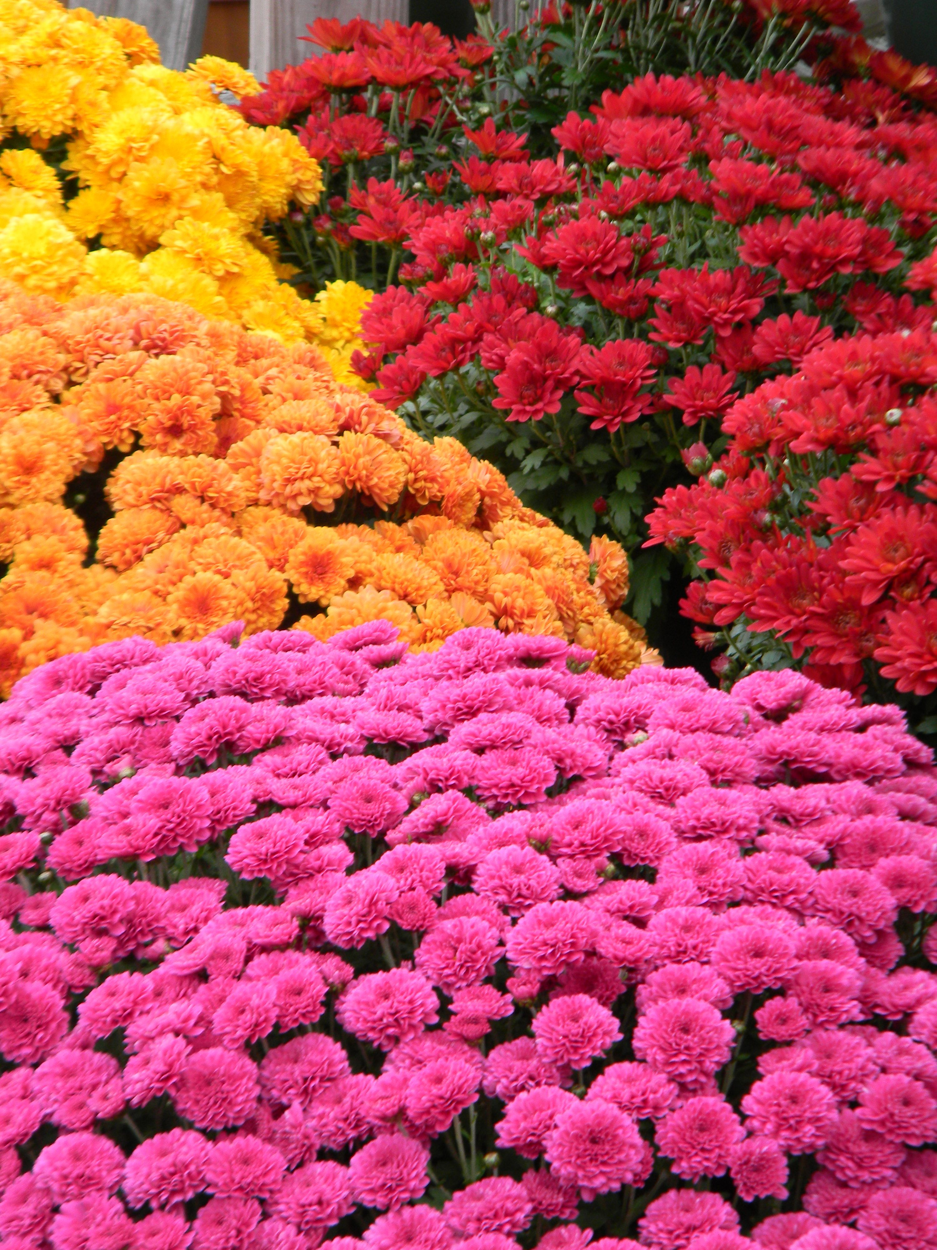 Mums are a perennial bush also do not attract bees backyard mums are a perennial bush also do not attract bees izmirmasajfo