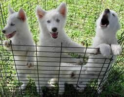 Siberian Husky Wolf Hybrid Puppy Wish List Pinterest Dogs
