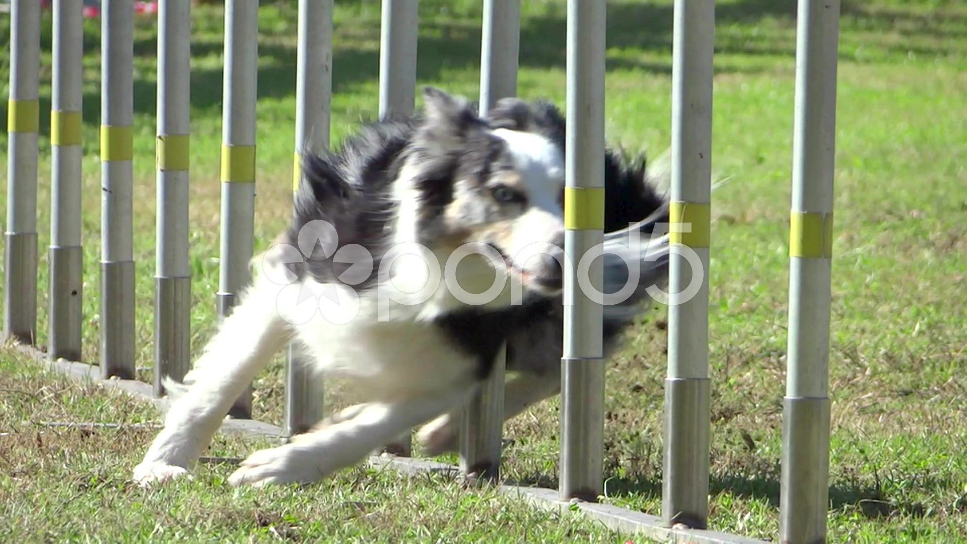 Dog Agility Weave Poles Stock Footage Weave Agility Dog Footage Dog Agility