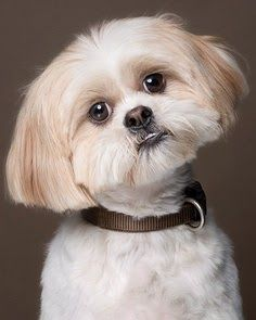 Temperament And Personality Of Shih Tzu Dogs Click The Picture To