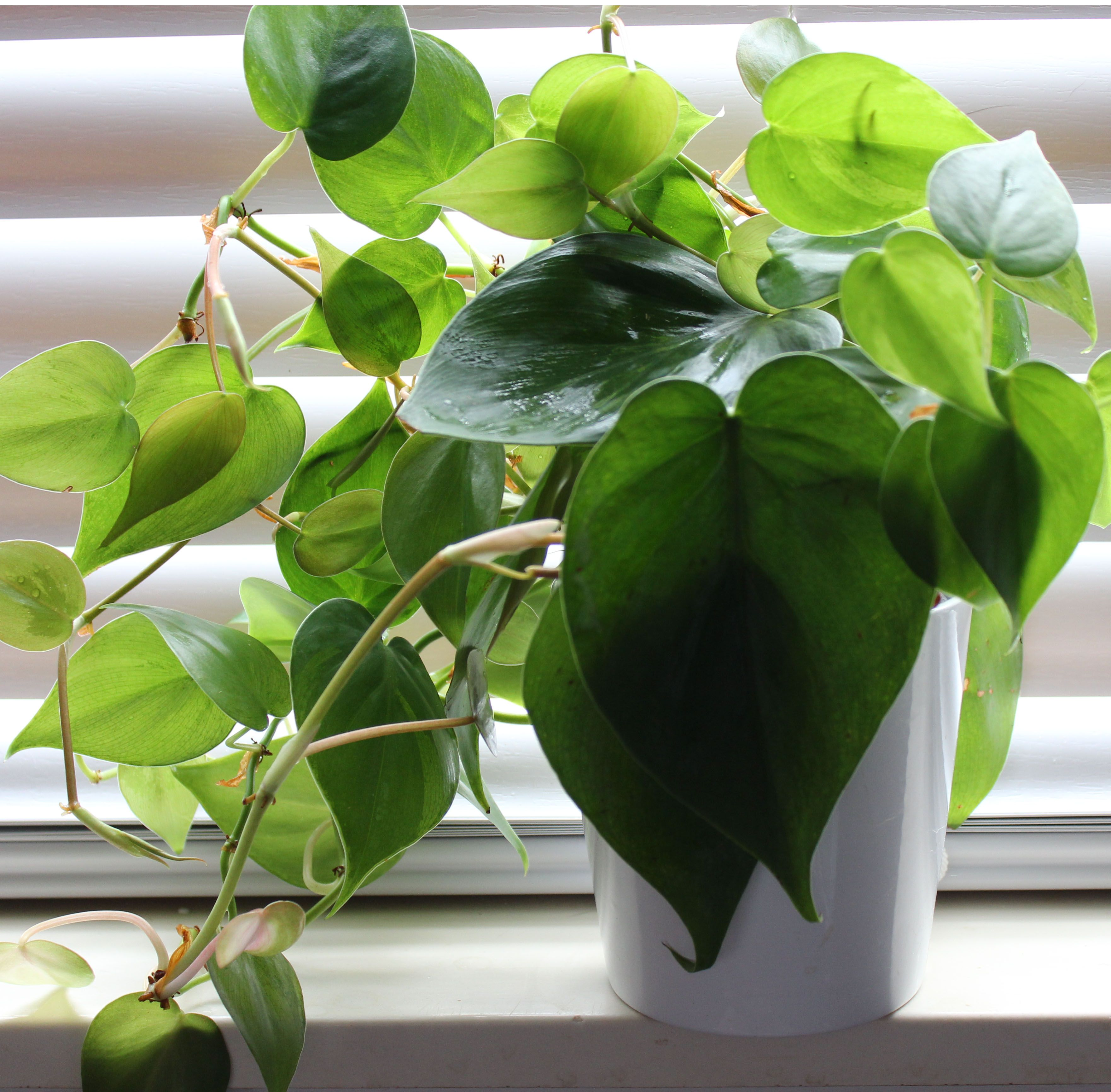 Philodendron cordatum (oxycardium) house plant - also ...
