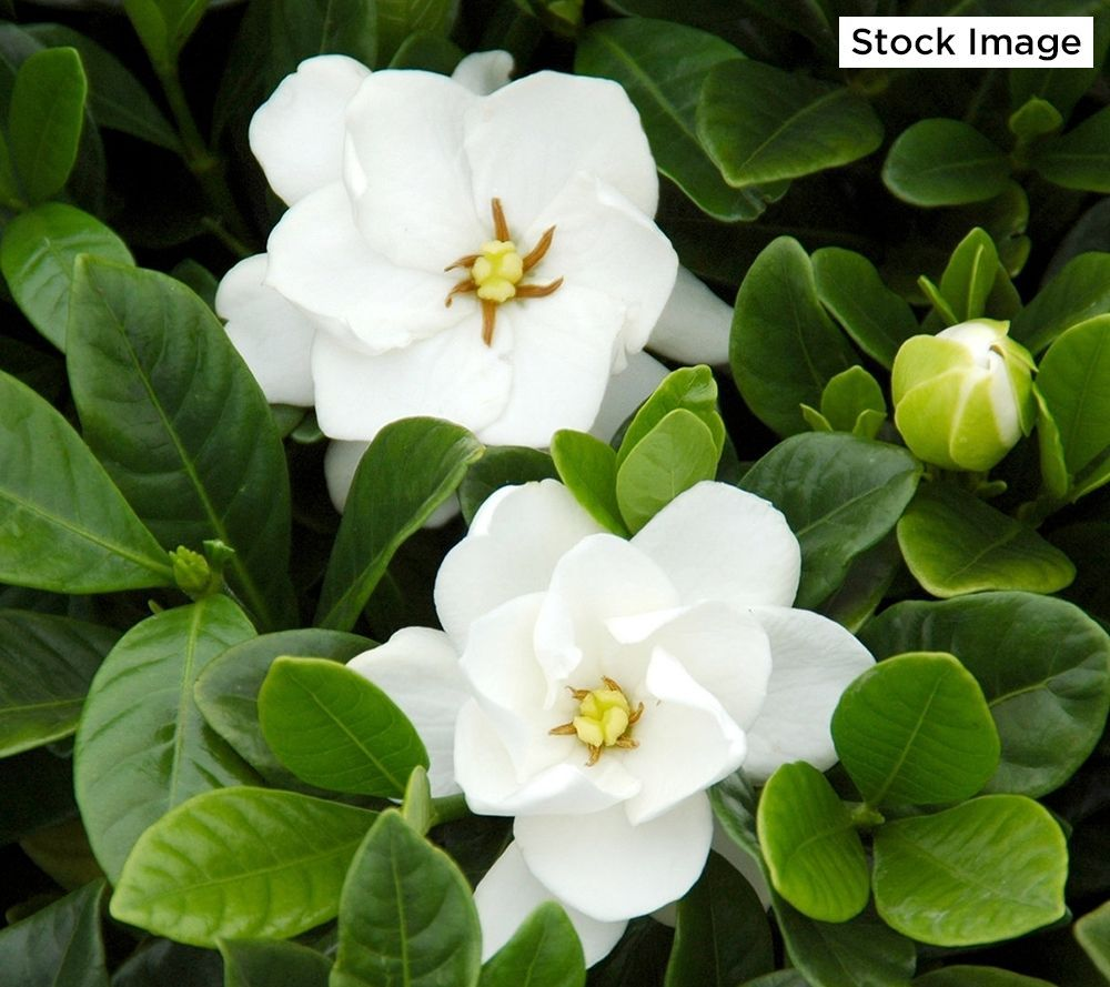 Enjoy Irresistible Fragrance And Continuous Flowering With This