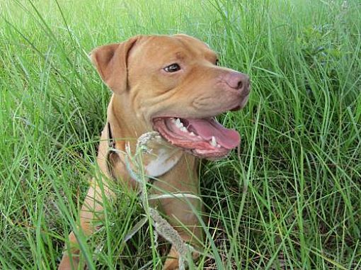 Pictures of Smiley a American Staffordshire Terrier for ...