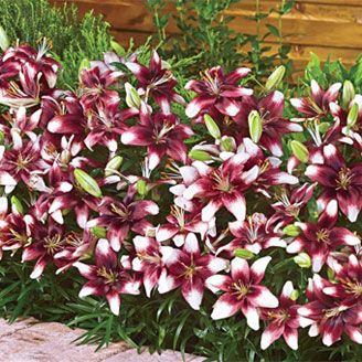 Push Off<sup>®</sup> Carpet Border Lily