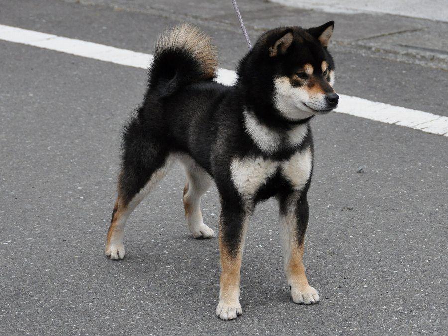 Pin By Mothman On Fauna Shiba Inu Black Japanese Dogs Shiba Inu