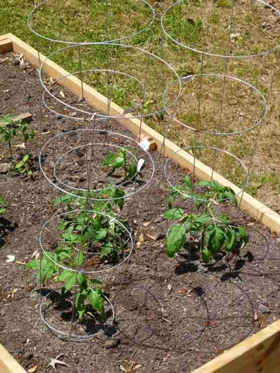 13 astuces pour faire pousser plus de tomates plus grosses et plus savoureuses tomates - Comment faire pousser des tomates ...