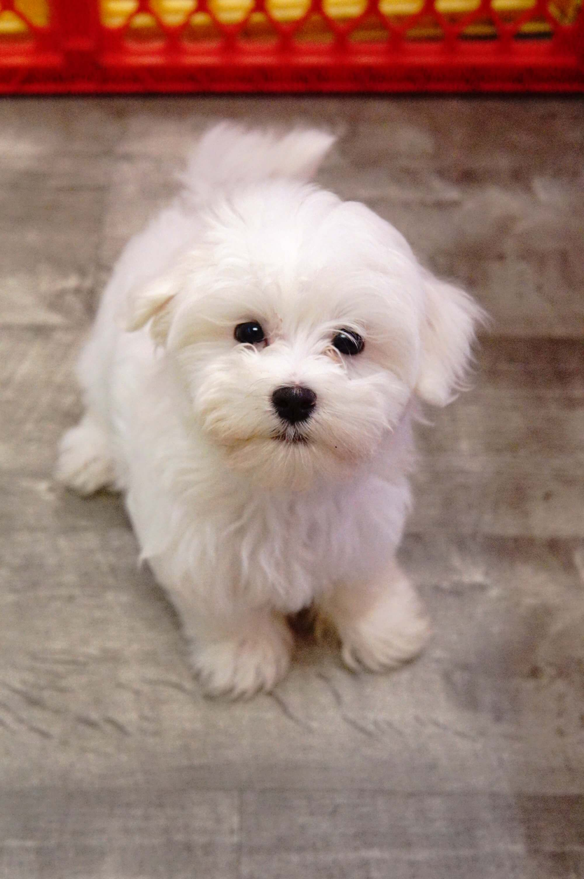 Maltese Forever Love Puppies Best Small Dog Breeds Maltese Puppies For Sale Best Small Dogs