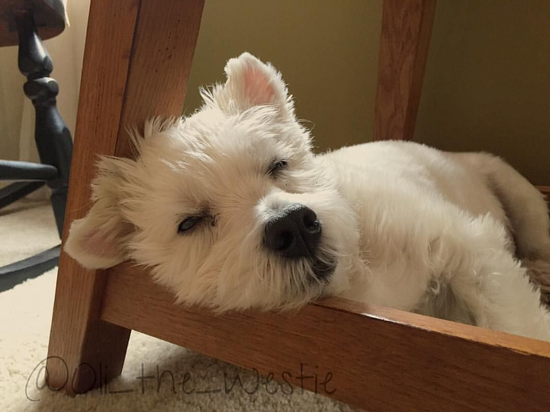 Doing The Classic Westie Head Rest Looks Like Somebody S Got A