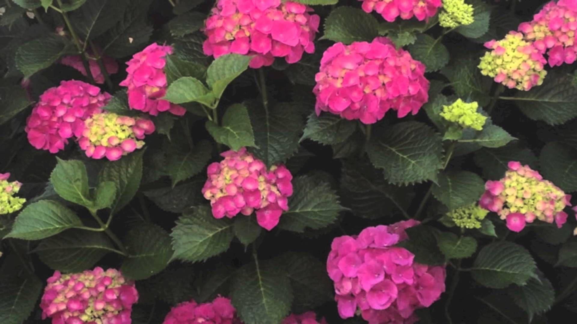 C mo cuidar hortensias plantas hortensias plantas y jardiner a - Como cuidar las hortensias en maceta ...